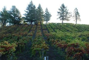 Alegria Vineyard on a hill
