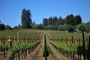 Tina Marie Vineyard near Graton CA