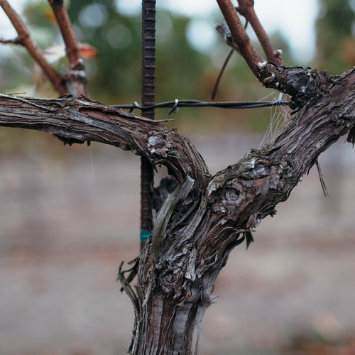 Close Up of Grape Vine